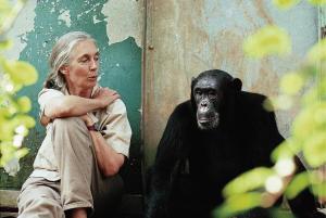 La doctora Goodall sentada junto al chimpancé Freud en Gombe. Foto:© Michael Neugebauer.