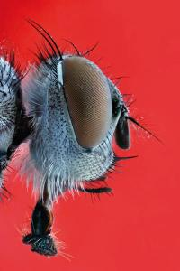 Cabeza de mosca. Foto: Ángel Febrero