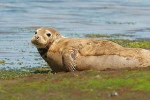 Foca gris (Halichoerus grypus). Bahía de Santander, Cantabria. Foto: © Oceana.