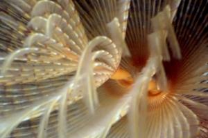 Detalle de una Sabella Spallanzanii Foto: EMBRC