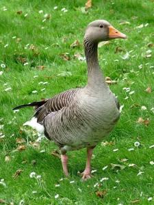 Konrad Lorenz efectuó el estudio etológico más completo sobre un animal social superior, el ganso gris (Anser anser).